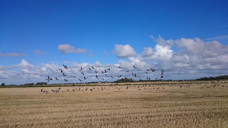 Zugvögel in Emmelsbüll-Horsbüll